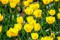 Candela Fosteriana Tulips At S...