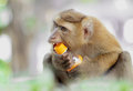 Candid monkey trying to open a bottle of water with mouth shallow depth of filed Royalty Free Stock Photo
