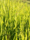 Candid shot of long blades of green grass in a mountain meadow summer season sunny day Stock Photography