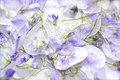 Candied violet flowers Royalty Free Stock Photo