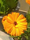 Candula Marigold Bright yellow and orange flowers, historically used for medicinal