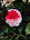 Candy Cane Camellia Bloom with Water Drops Royalty Free Stock Photo