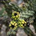 Cane cholla cactus cylindropuntia imbricata Stock Photos