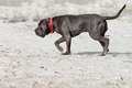 Cane corso on the beack relaxed young walking beach Stock Photo