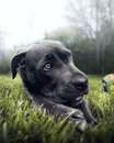 Cane corso dog black portrait on green grass Stock Photography