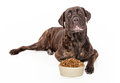 Cane corso dog with bowl of food slobber on his mouth laying in front a heaping dry kibble Stock Images