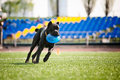 Cane corso dog brings the flying disc funny in jump Royalty Free Stock Photos