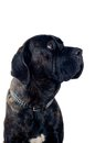 Cane-corso dog portrait Royalty Free Stock Photography