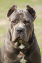 Cane corso dog portrait of Stock Image