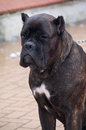 Cane corso dog sitting Royalty Free Stock Photo