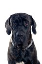 Cane corso mastif dog portrait Royalty Free Stock Photos