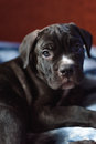Cane Corso puppy, very smart dog Royalty Free Stock Photo