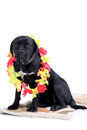 Cane Corso purebred dog Royalty Free Stock Photography