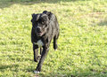 Cane corso a young beautiful black and white medium sized dog with cropped ears running on the grass the italian mastiff is a Royalty Free Stock Photo