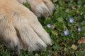 Cane di paw german shepherd sull erba Immagine Stock