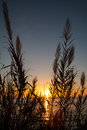 Cane flowers at sunset Royalty Free Stock Photo