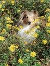 Cane pastore di Shetland in fiori Fotografie Stock Libere da Diritti