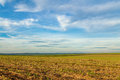 Cane sugar field, Dumont. Royalty Free Stock Photo