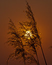 Cane and sun orange at sunset evening Royalty Free Stock Images