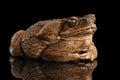 Cane Toad - Bufo marinus, giant neotropical, marine, Black