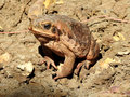 Cane toad. Royalty Free Stock Photo