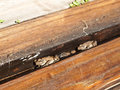 Cane Toads Nestled in Timber Royalty Free Stock Photo