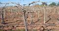 Canes of Grape Vine on Trellis. Royalty Free Stock Photo