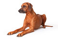 Canine rhodesian ridgeback portrait on a white background Stock Photos