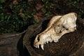 Canine skull closeup Royalty Free Stock Photo