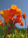 Canna Royalty Free Stock Photography