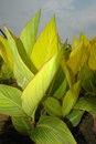 Canna Royalty Free Stock Photos