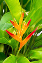 Canna flower buds are not yet in full bloom young close up Royalty Free Stock Photography