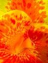 image photo : Canna Flower macro