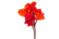 Canna flowers red isolated on white background Royalty Free Stock Image