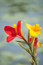 Canna flowers red and yellow in garden Royalty Free Stock Photo