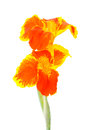 Canna flowers on white background Royalty Free Stock Images