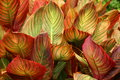 Canna foliage in a garden Royalty Free Stock Photo