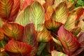 Canna Foliage Royalty Free Stock Photo