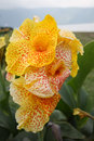 Canna indica yellow flower in bali indonesia Royalty Free Stock Photo