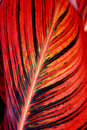 Canna leaf closeup red striped Stock Image