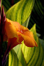 Canna Lily Royalty Free Stock Photo