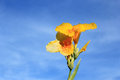Canna lily on blue sky background Royalty Free Stock Photography