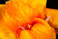 Canna lily, close-up Royalty Free Stock Photo