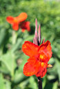 Canna lily the close up of red flower scientific name indica Royalty Free Stock Photo