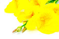 Canna lily exotic yellow flower isolated on a white background Stock Photo