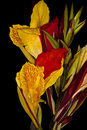 Canna Lily flower Royalty Free Stock Photography