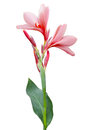Canna Lily Flower Royalty Free Stock Photo