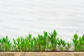Canna lily plants grown near ceramic tile wall Royalty Free Stock Photo