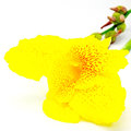 Canna lily yellow flower isolated on a white background Stock Photography