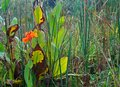 CANNA PLANTS WITH YELLOWING LEAVES Royalty Free Stock Photo